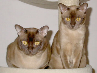 Burmakatzen Thandis Coco Chanel & Thandis African Tiger